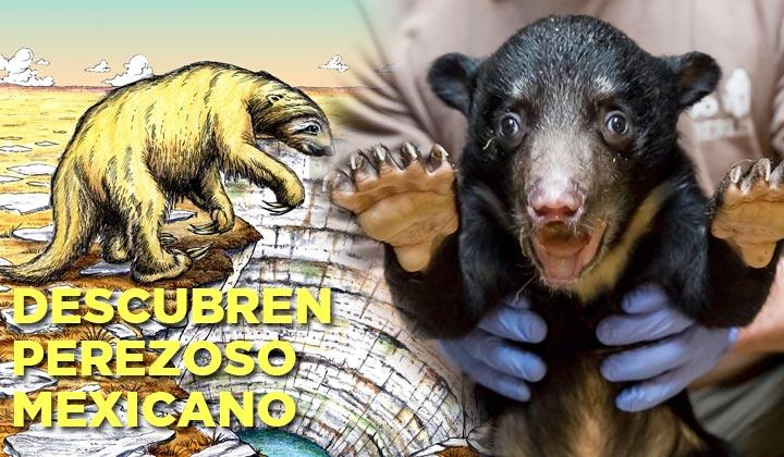 Descubren perezoso gigante en México