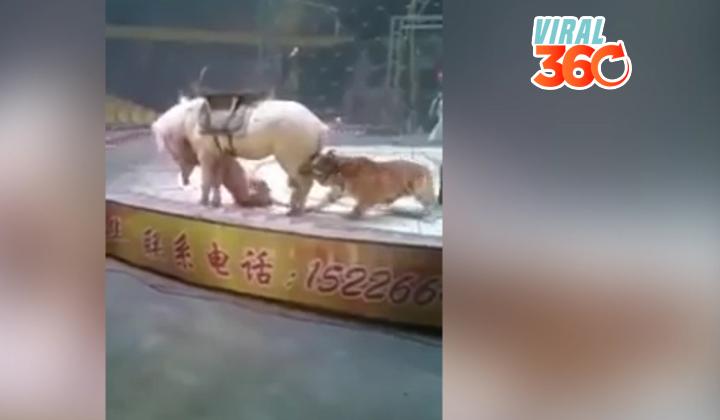 Un tigre y una leona atacan a un caballo en un circo chino