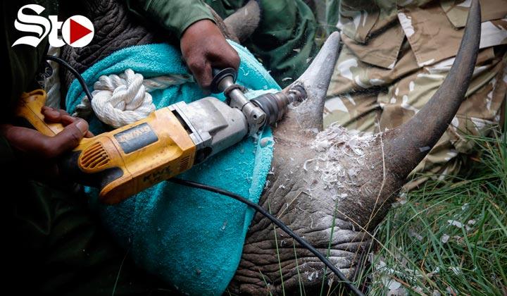 Cortan cuernos a rinocerontes para salvarles la vida