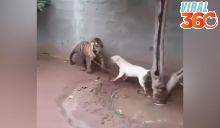 El trágico final del enfrentamiento entre un tigre y un perro
