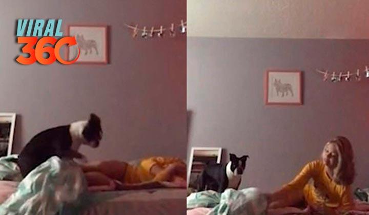 Bulldog se hace viral con su manera de despertar a su dueña