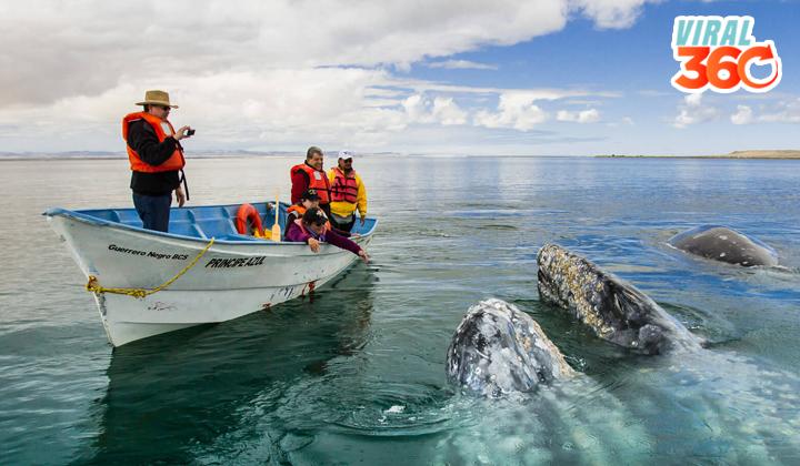 La ballena gris llega a los apacibles santuarios mexicanos