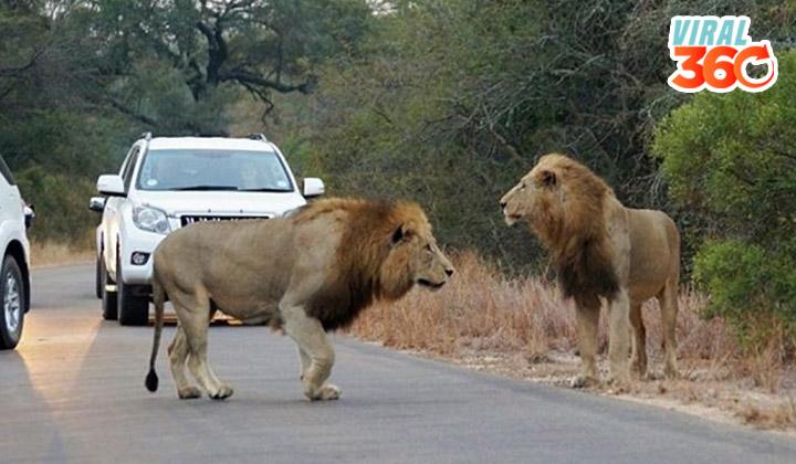 Cuatro leones se pasean en una carretera
