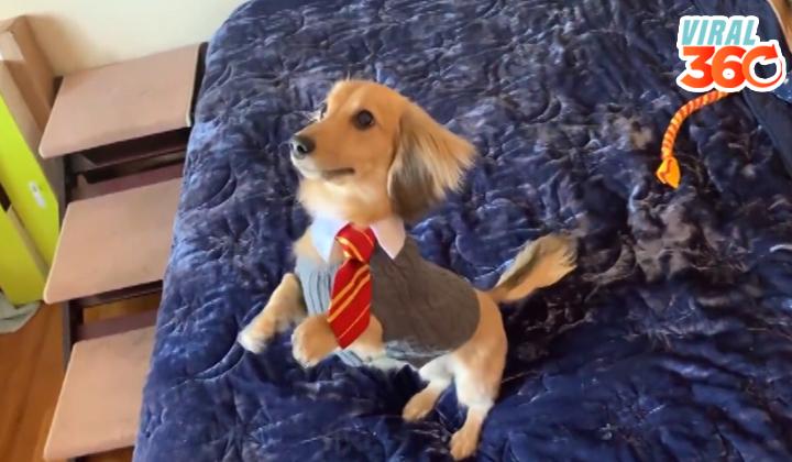 Un perrito que obedece a hechizos de Harry Potter
