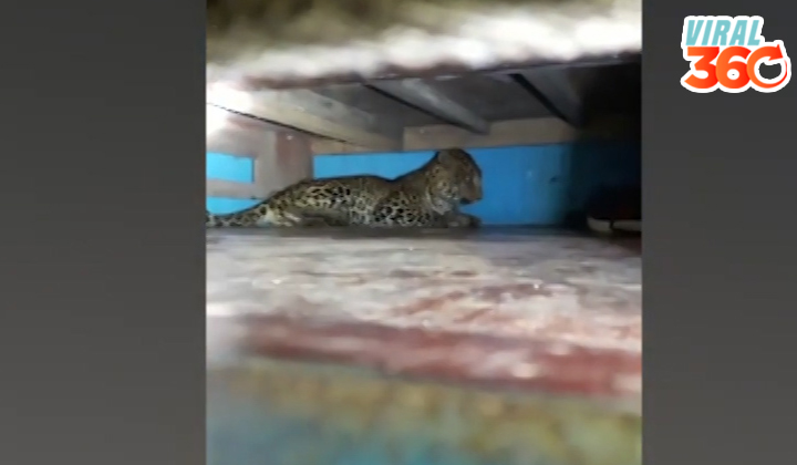 Encuentran a un leopardo debajo de una cuna