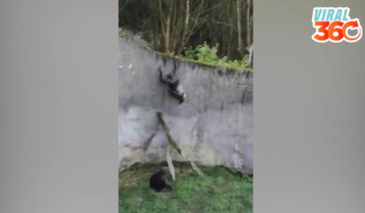 Chimpancé se fuga de su recinto del zoológico