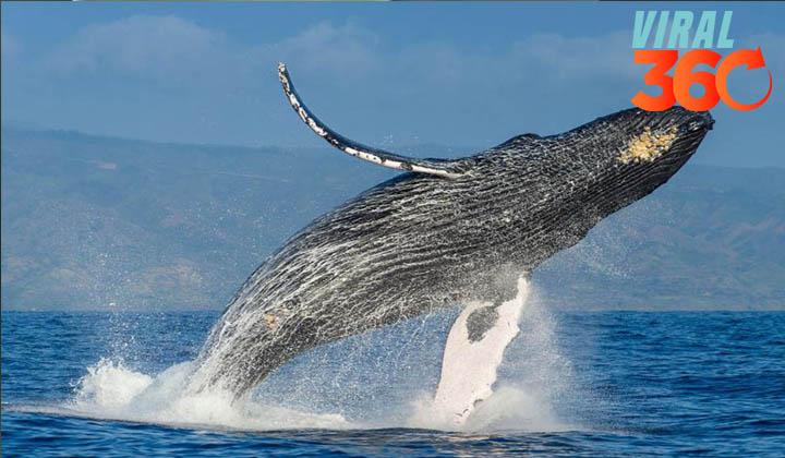 La ballena jorobada llega a México para deslumbrar