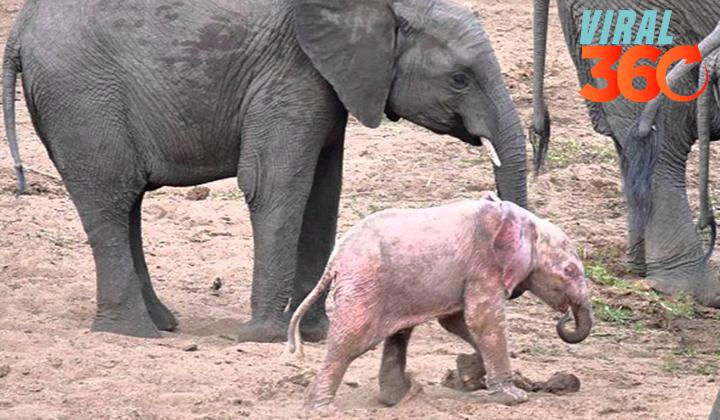 Captan a un elefante rosa en video