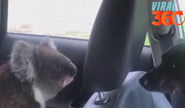 Koala sube al automóvil debido al calor intenso