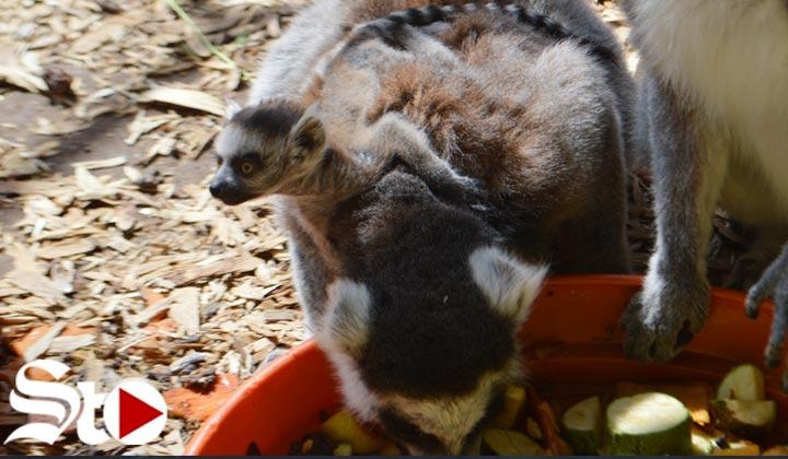 Nace el primer lémur en cautiverio en todo Coahuila