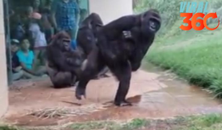 Gorilas reaccionan igual a los humanos con la lluvia.