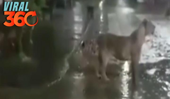 Una manada de leones cruza las calles de la ciudad