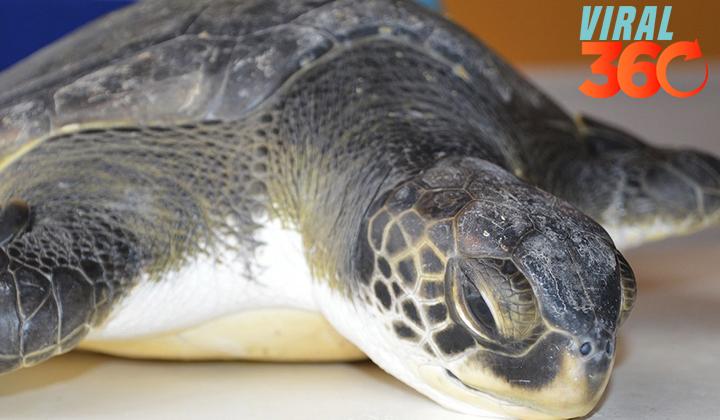 Rehabilitan a una tortuga tras defecar 13 gramos de plásticos