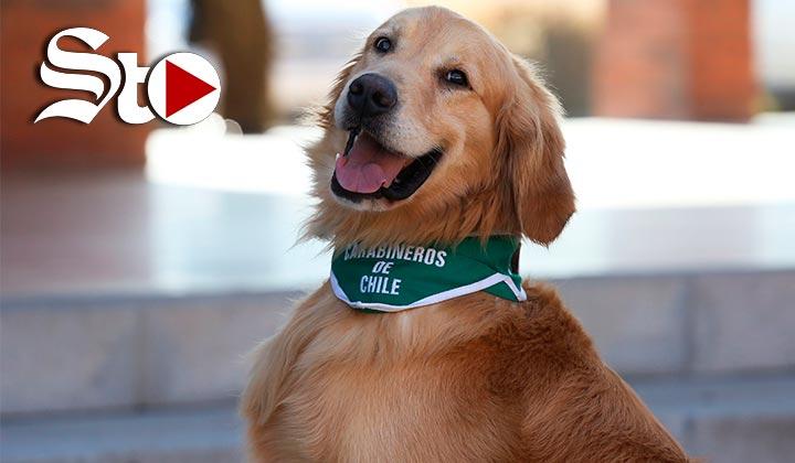 Chile adiestra perros para detectar enfermos de COVID-19