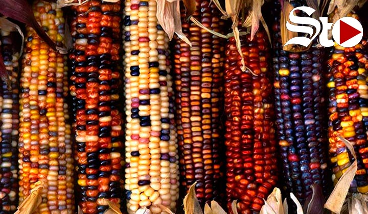 Siete maíces ancestrales de México que debes conocer