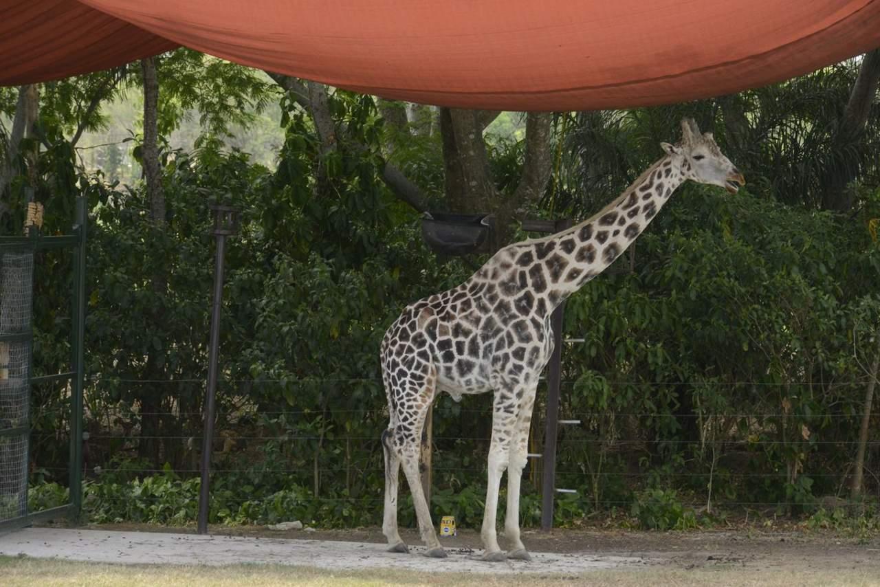 Muere jirafa tras caída accidental en parque Yumká de Tabasco. Noticias en tiempo real