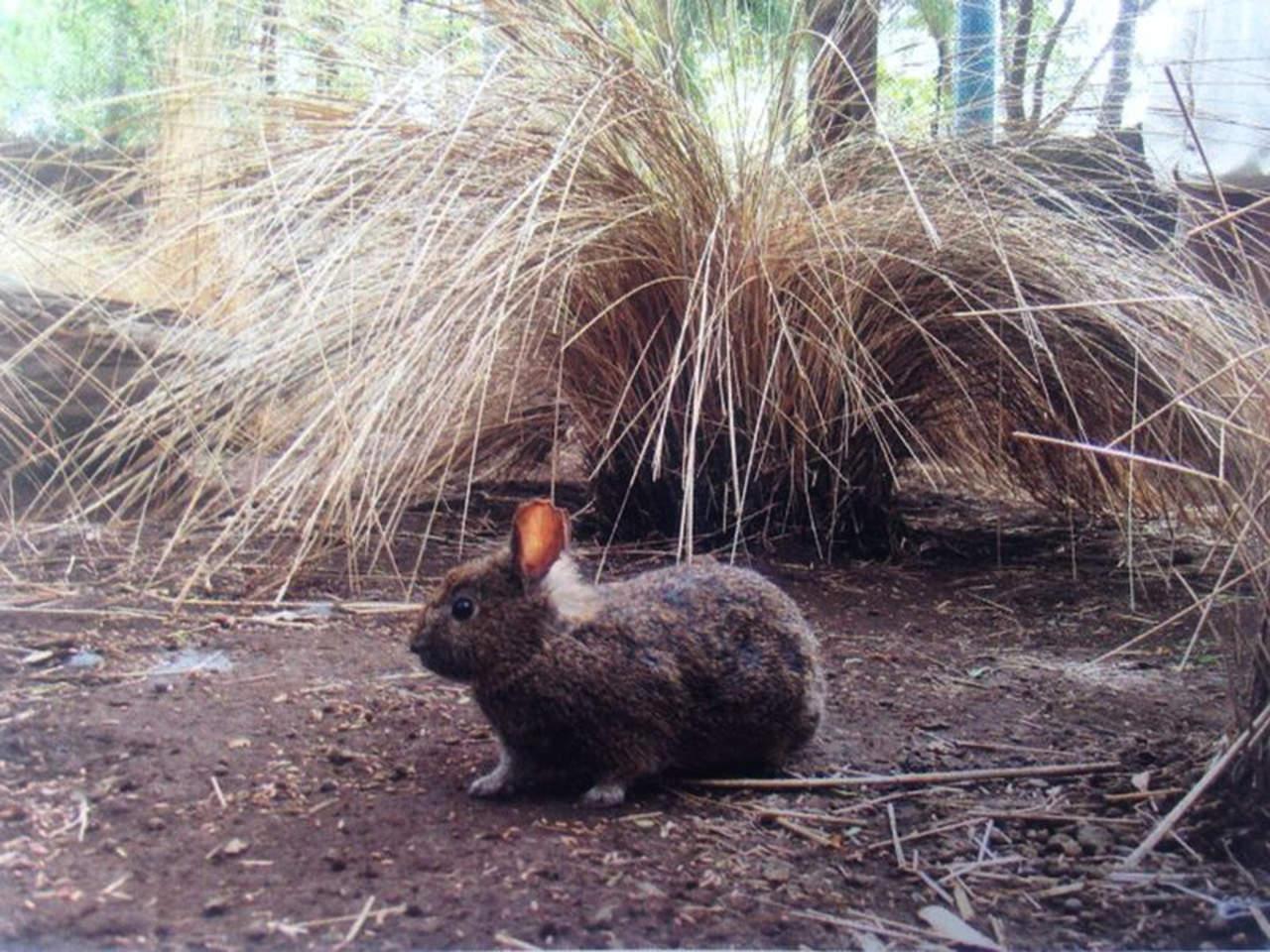 Niegan extinción del conejo teporingo. Noticias en tiempo real