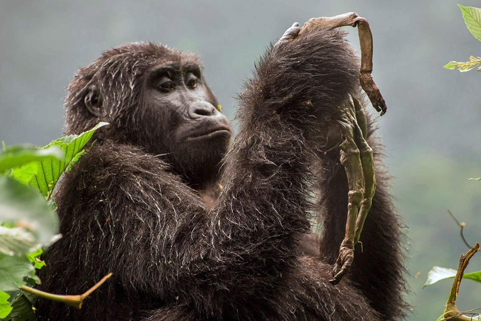 Gorilas de montaña fuera de peligro crítico de extinción. Noticias en tiempo real
