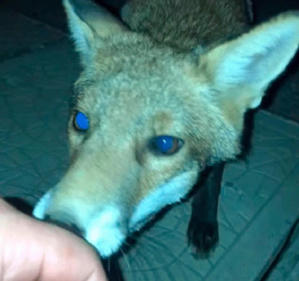 Hombre intenta acariciar a un zorro y es mordido por éste. Noticias en tiempo real