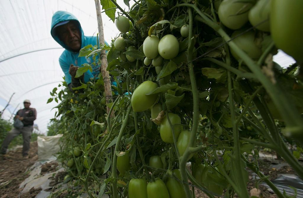 Gobierno apoyará a productores de tomate en negociaciones. Noticias en tiempo real