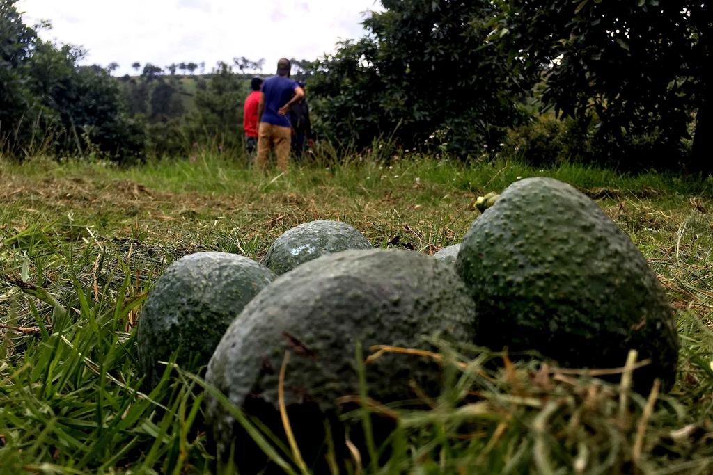 Amenazan cultivos ilegales de aguacate medioambiente en Jalisco. Noticias en tiempo real