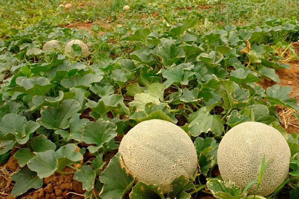 Inicia producción de melón tardío en Matamoros