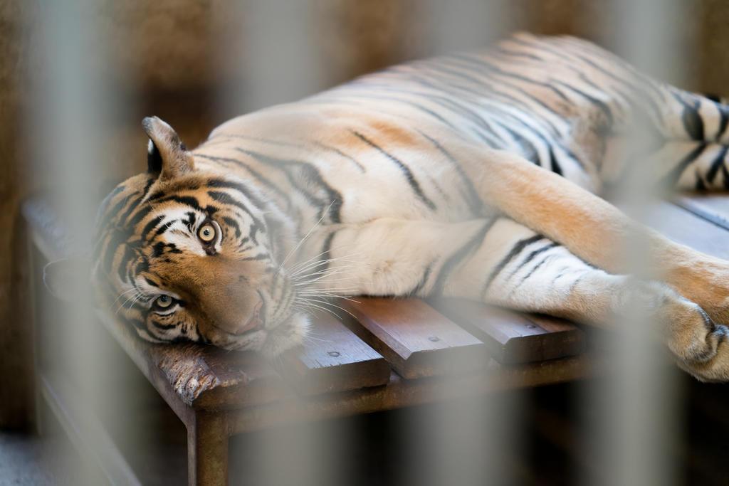 VIDEO: Tigre se escapa en pleno espectáculo de circo. Noticias en tiempo real