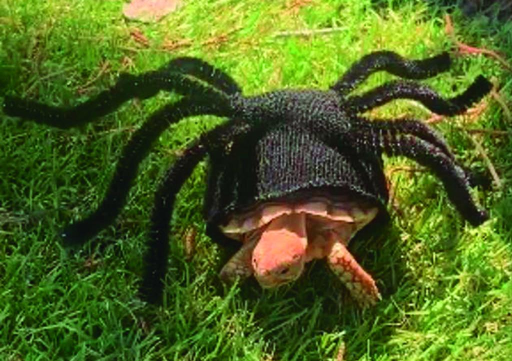 VIRAL: Disfrazan a adorable tortuga de tarántula. Noticias en tiempo real