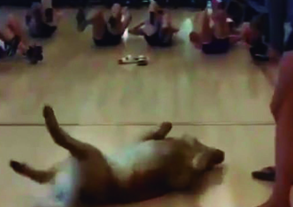 VIDEO: Golden Retriever se une a clase de abdominales y se hace viral