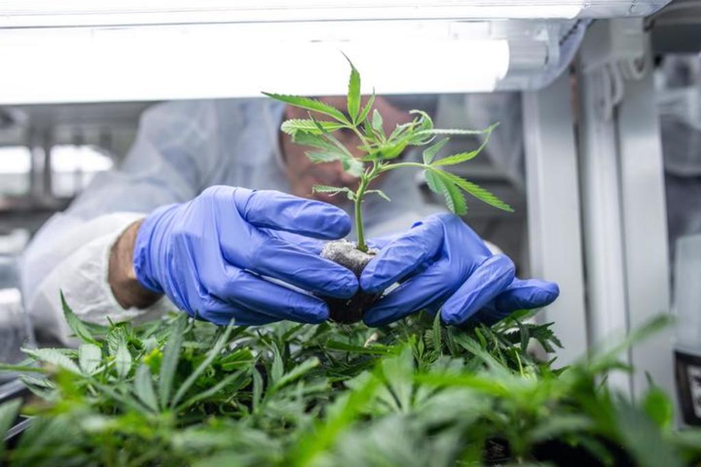 Avanza regulación de cannabis en México; avalan dictamen