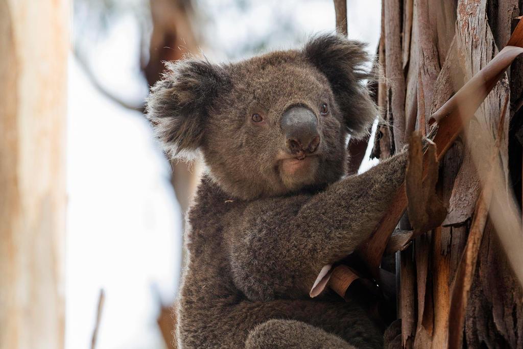 Inician restauración de hábitats afectados por incendios en Australia, El  Siglo de Torreón