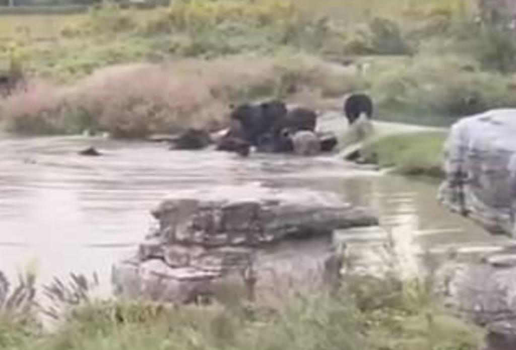 Empleado de zoológico es devorado por osos frente a un grupo de visitantes. Noticias en tiempo real