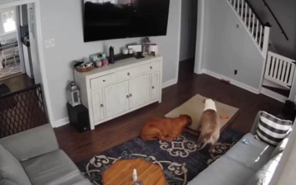 Perrito ofrece su cama a su amigo enfermo y la red explota de amor. Noticias en tiempo real